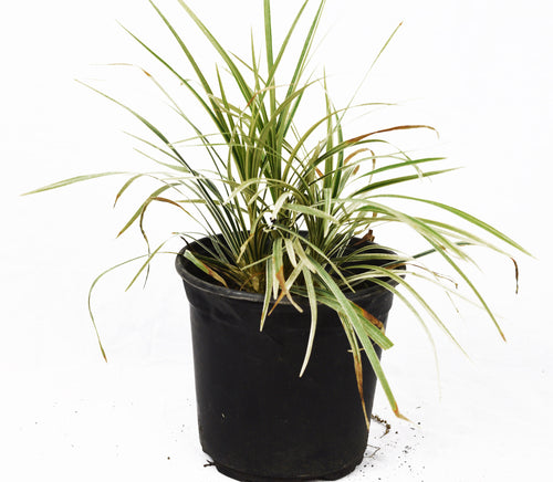 Aztec Grass - Michaels Nursery