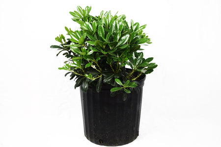 Sunshine Ligustrum™