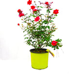 Red Double Knock Out® Rose - Michaels Nursery