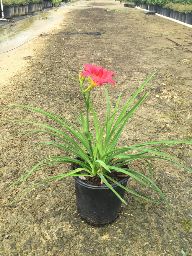 Little Business DayLily