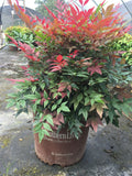 Obsession Nandina - Michaels Nursery