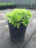 Wheeler's Dwarf Pittosporum - Michaels Nursery