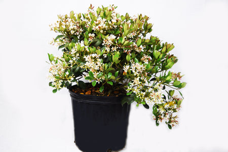 Variegated Pittosporum