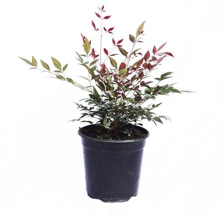 Wintergreen Boxwood