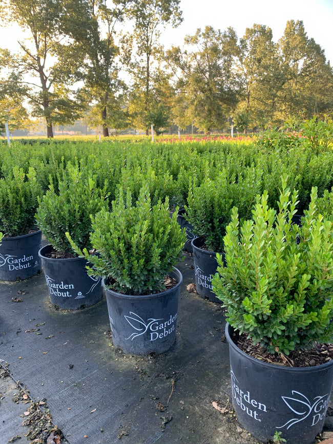 Baby Gem Boxwood™