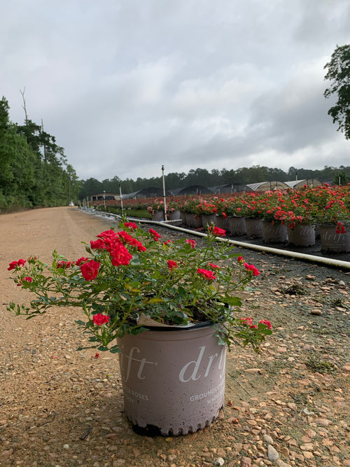 Red Drift Roses™