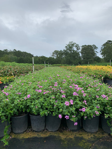 Purple Trailing Lantana