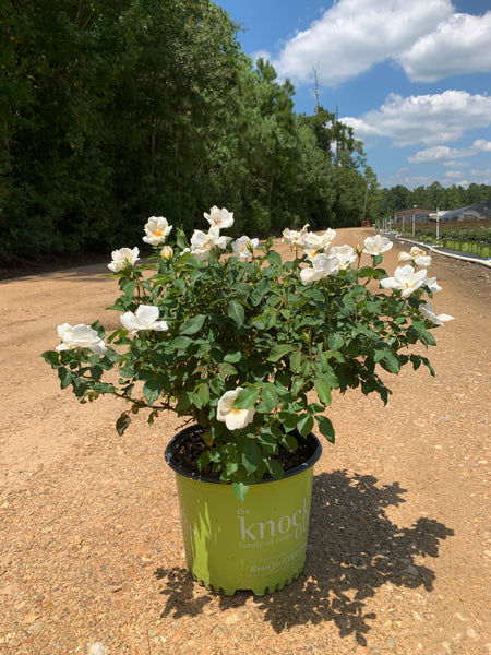 White Knock Out Rose™