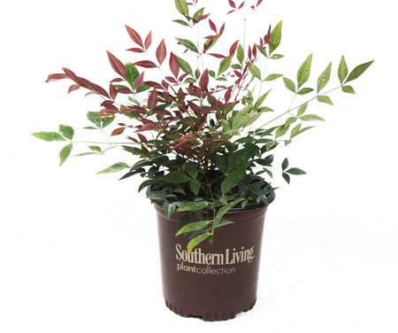 Wheeler's Dwarf Pittosporum