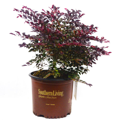Purple Diamond Loropetalum - Michaels Nursery