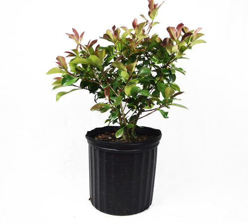 Red Tip Shrubs - Michaels Nursery