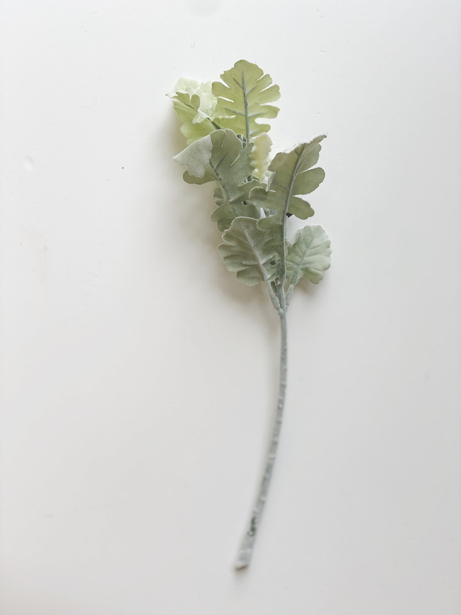 Green Dusty Miller Stem w/Wide Leaves