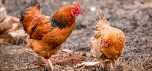 Chicken Molting Tips