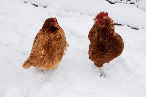Winter Poultry Care Tips
