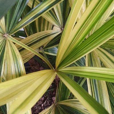 Rhaphis excelsa variegata (Variegated Lady Palm) - plantsmith