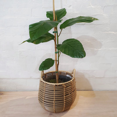 Ficus dammaropsis (Dinner Plate Fig) - plantsmith