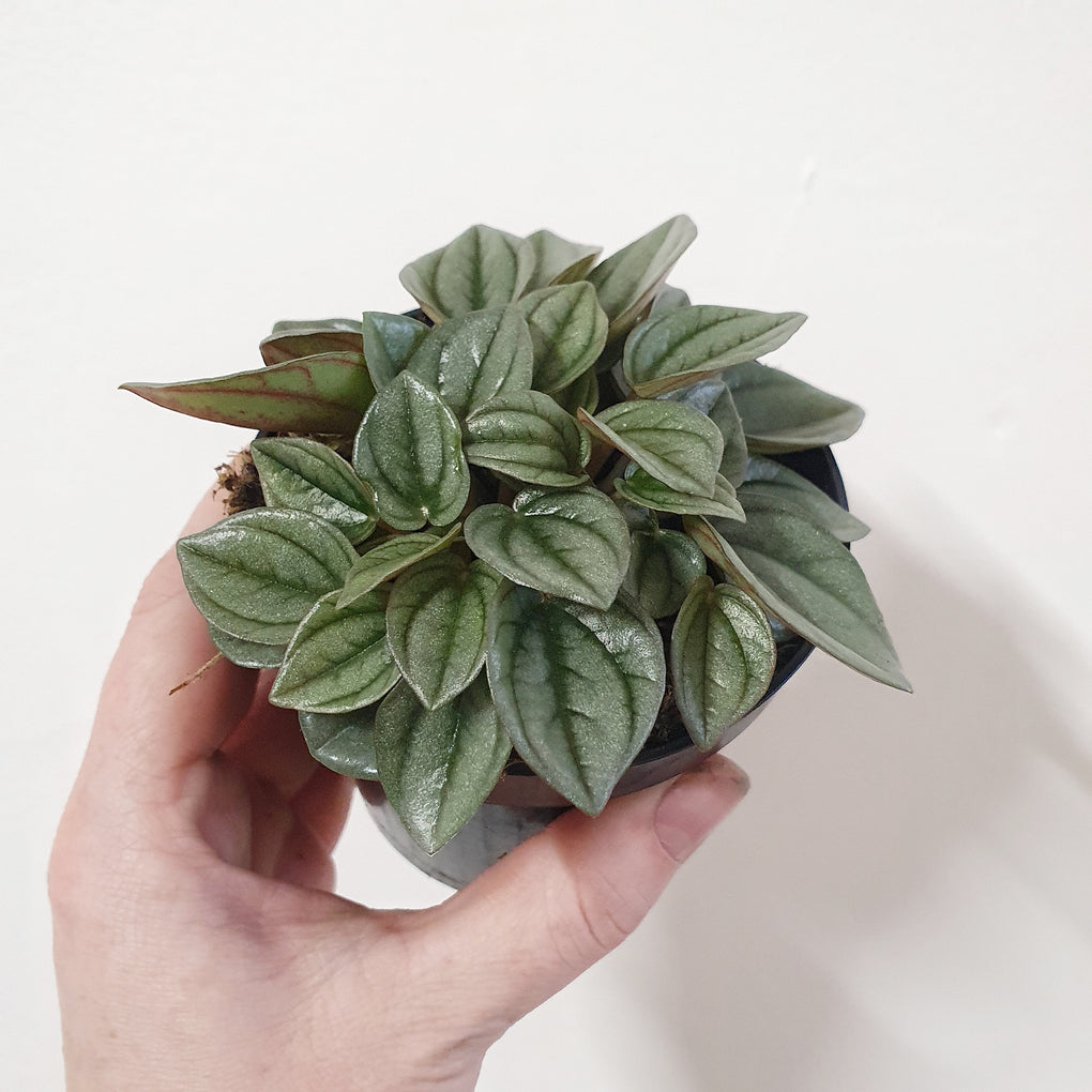 Peperomia Napoli Nights 9 5cm Pot Plantsmith