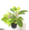 Ficus elastica 'Lemon Lime' - plantsmith