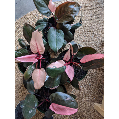 Philodendron erubescens 'Pink Princess'