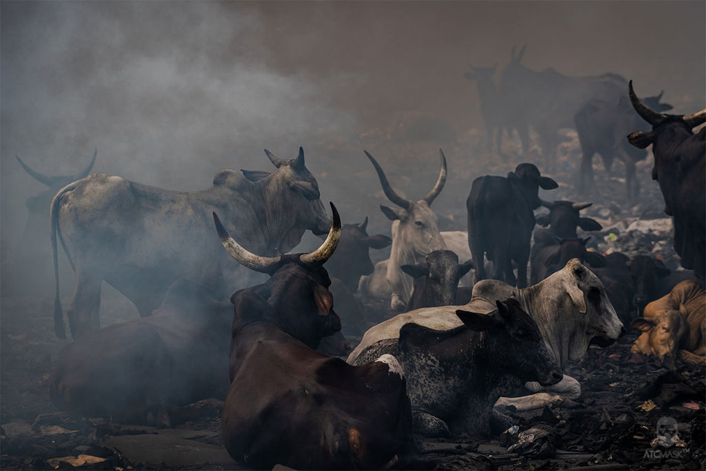 Cattle Resting On The Agbogbloshie E-waste Dump