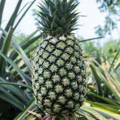 Ananas Frucht