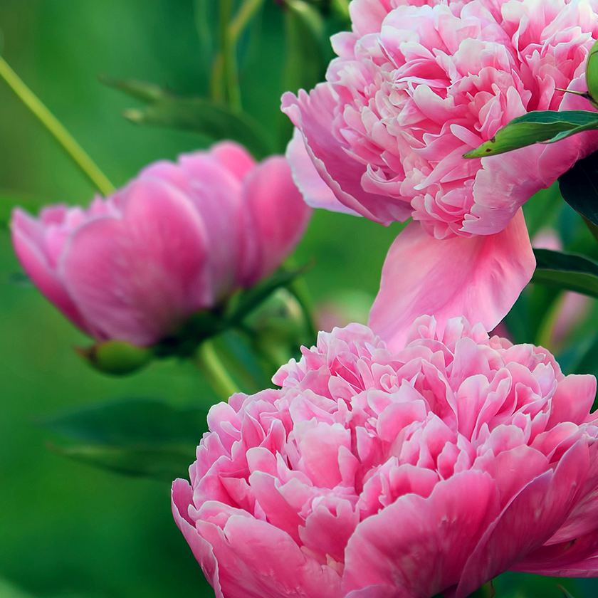 Paeonia Root Extract