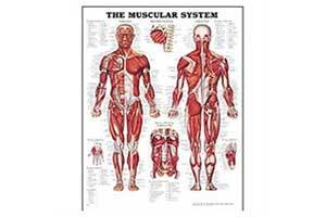 Muscular System Poster