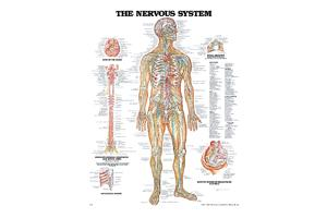 Spinal Nerves Poster 20&quot X 26&quot