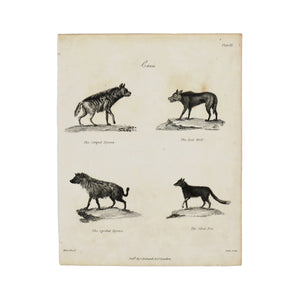 "Canis Plate III  Antique 1820 Engraving from ""The Modern Encyclopedia: The Latest Discoveries in each Department of Knowledge.""  1820s etching depicting four different canines: The Striped Hyena, The Spotted Hyena, The Red Wolf, and The Silver Fox.  Measures 10.5 x 8.25 inches."