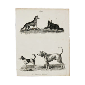 "Canis (Hounds)  Antique 1820 Engraving from ""The Modern Encyclopedia: The Latest Discoveries in each Department of Knowledge.""  1820s etching depicting four (unlabelled) canines.  Measures 10.5 x 8.25 inches"