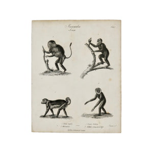 "Mammalia, Simia Plate I  Antique 1820 Engraving from ""The Modern Encyclopedia: The Latest Discoveries in each Department of Knowledge.""  1820s etching depicting four primates: Simia regalis, Maucanco, Ouran Outang, and Gibbon or Long Armed Ape.  Measures 10.5 x 8.25 inches."