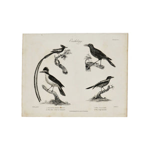 "Ornithology (Yellow Bellied Tyrant, Red Schet of Senegal, The Cassican, The Gray Beoarde)  Antique 1820 Engraving from ""The Modern Encyclopedia: The Latest Discoveries in each Department of Knowledge.""  1820s etching depicting four birds: The Yellow Bellied Tyrant, The Red Schet of Senegal, The Cassican, and The Gray Beoarde.  Measures 10.5 x 8.25 inches."