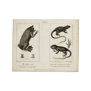 "Reptiles (The Surinam Toad, The Agame, the Anolis)  Antique 1820 Engraving from ""The Modern Encyclopedia: The Latest Discoveries in each Department of Knowledge.""  1820s etching depicting 3 reptiles: The Surinam Toad, The Agame or Lizard of Port Jackson, and the Anolis or Lizard of the Cape.  Measures 10.5 x 8.25 inches."