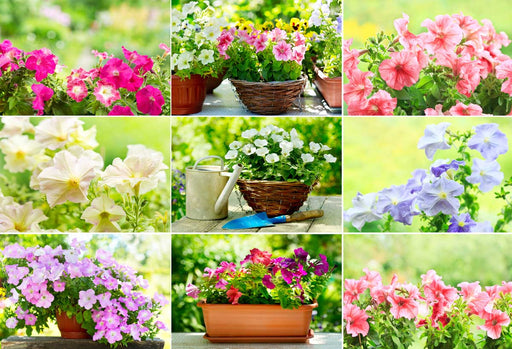 Annuals Planter Kit - Petunias