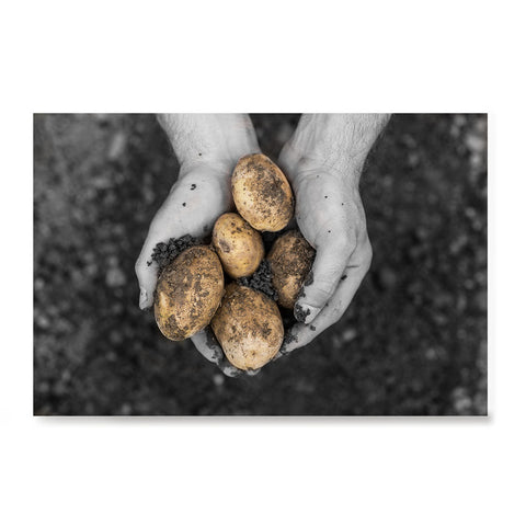 Ezposterprints - Freshly Dug Potatoes