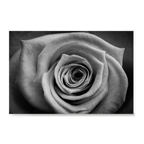 Ezposterprints - Rose