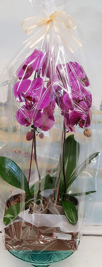 2 stands Luxury Orchid Plants