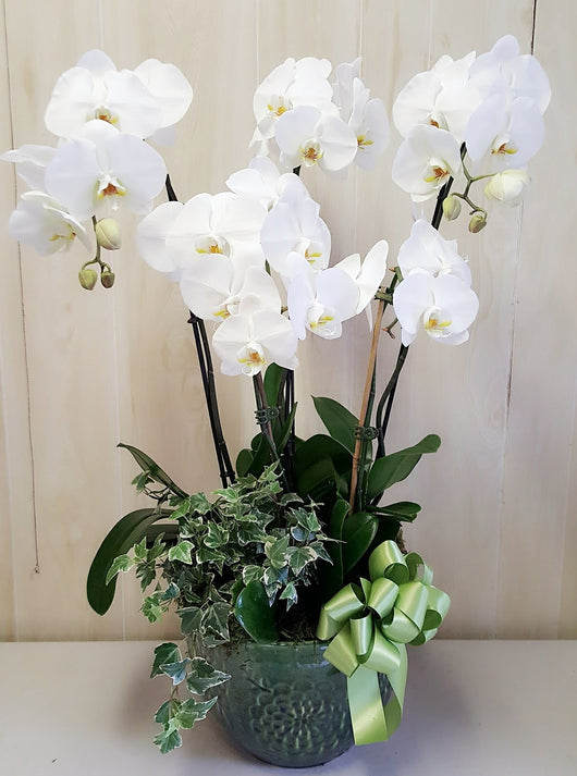 5 Stem White   Luxury Orchid Dish Garden