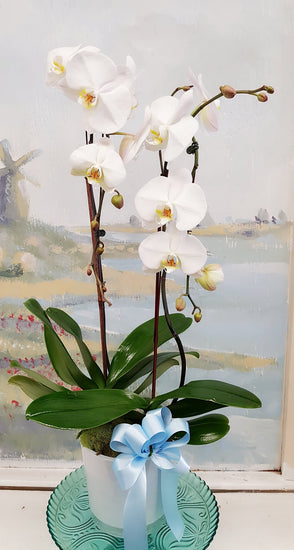 2 Stand  Elegant Orchid  Plant
