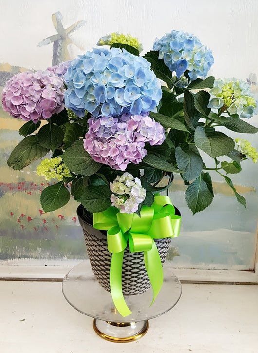 2018 Mother's Day Hydrangea plant