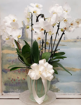 2019 White Orchid Luxury  Plant (6 Steams)