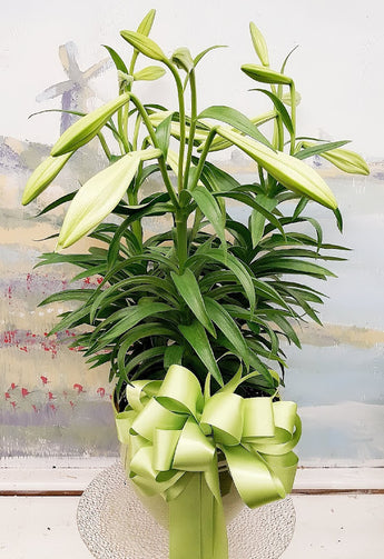 2021 Easter Lily Plant ( 3 Steam )