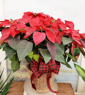 Christmas  Large  Red Poinsettia Plant