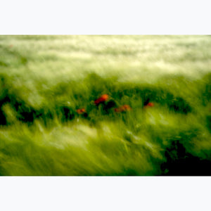 Red Poppies in soft wheat field, color photograph, France.