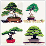 20 pcs japanese black pine natural indoor bonsai tree wooden perennial plants for home garden decor best packaging