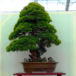 Lowest Price!100% True Sacred Japanese Cedar tree bonsai plant fir plant, home gardens, Free Shipping 100flores