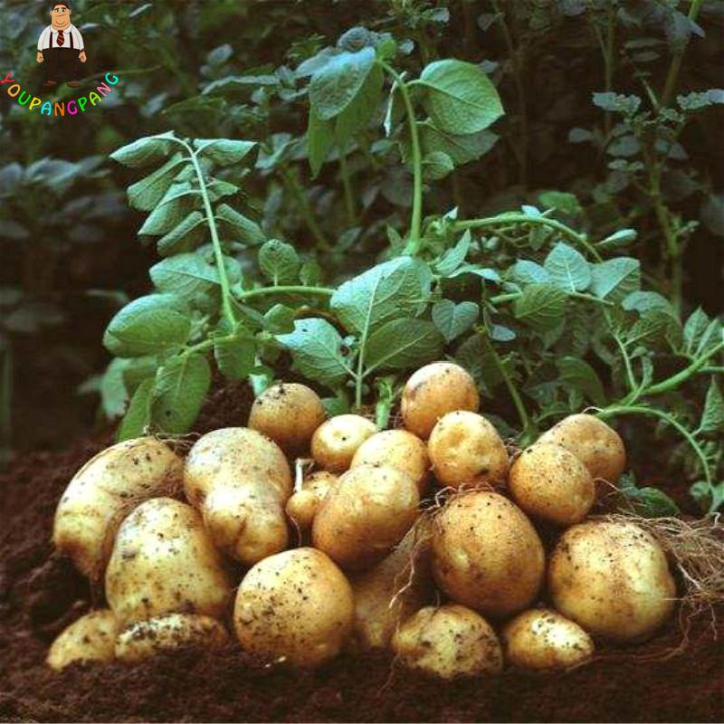 100pcs Giant Purple Potato plants Perennial Bonsai Tree Anti-wrinkle Vegetable planting For Home Garden