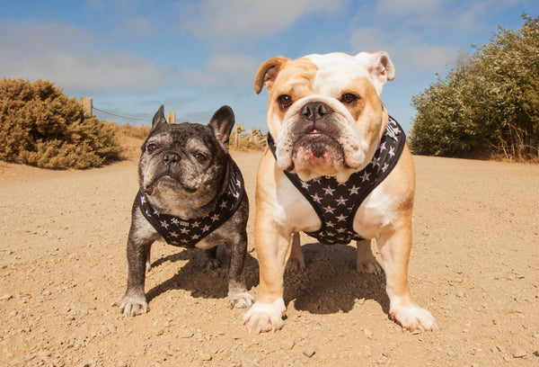 One black French bulldog in harness next to an English bulldog in a harness.