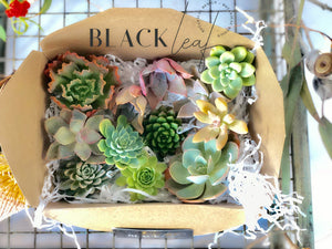 Premium Succulent Rosette Cuttings