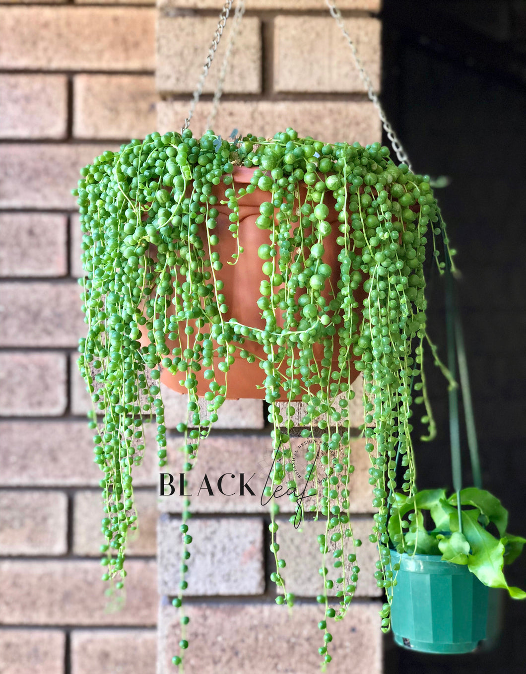 String of Pearls Cuttings